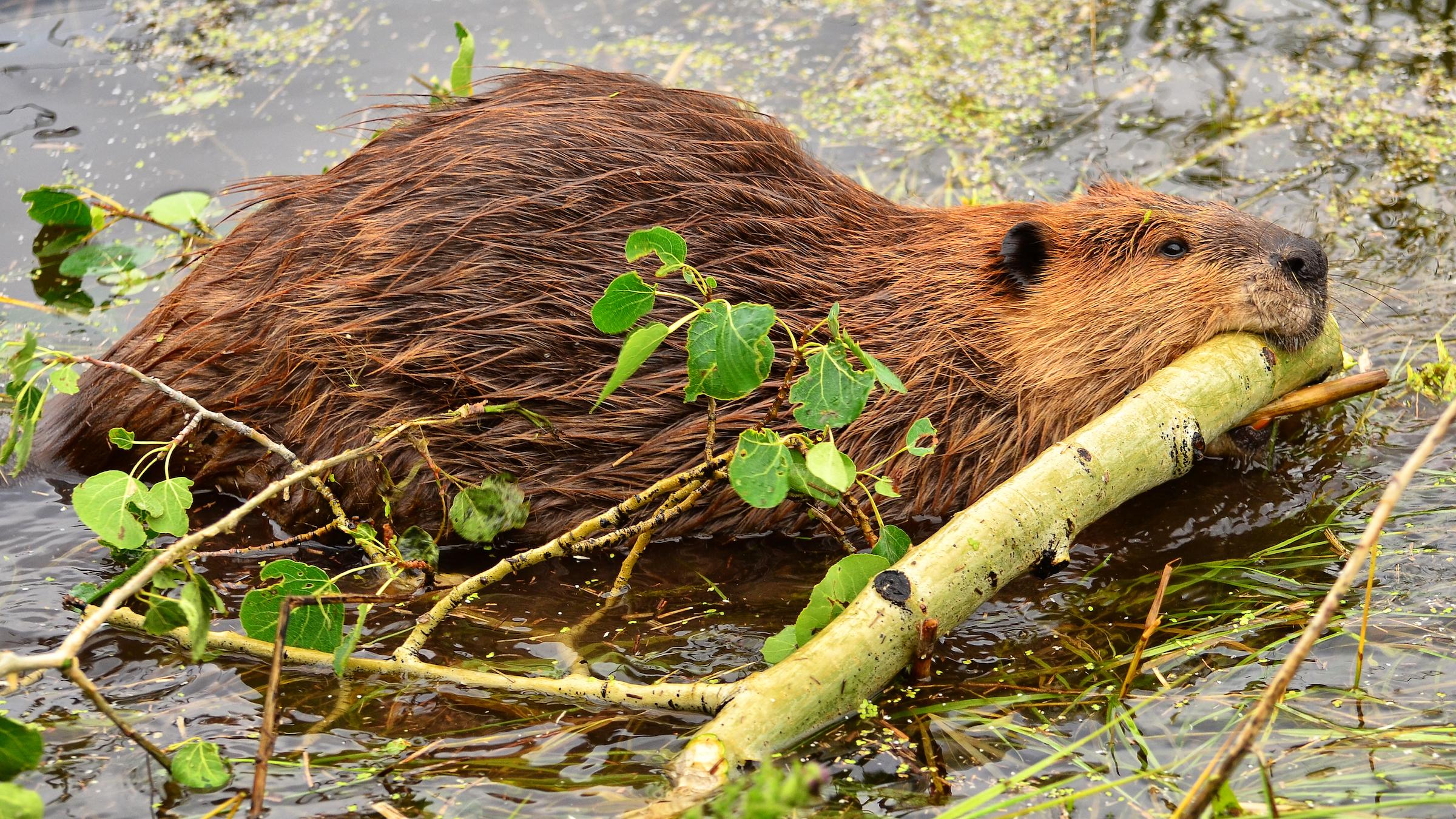 Les castors, comme celui-ci ramassant du bois dans le parc national de Grand Teton, étaient convoités par les commerçants européens.