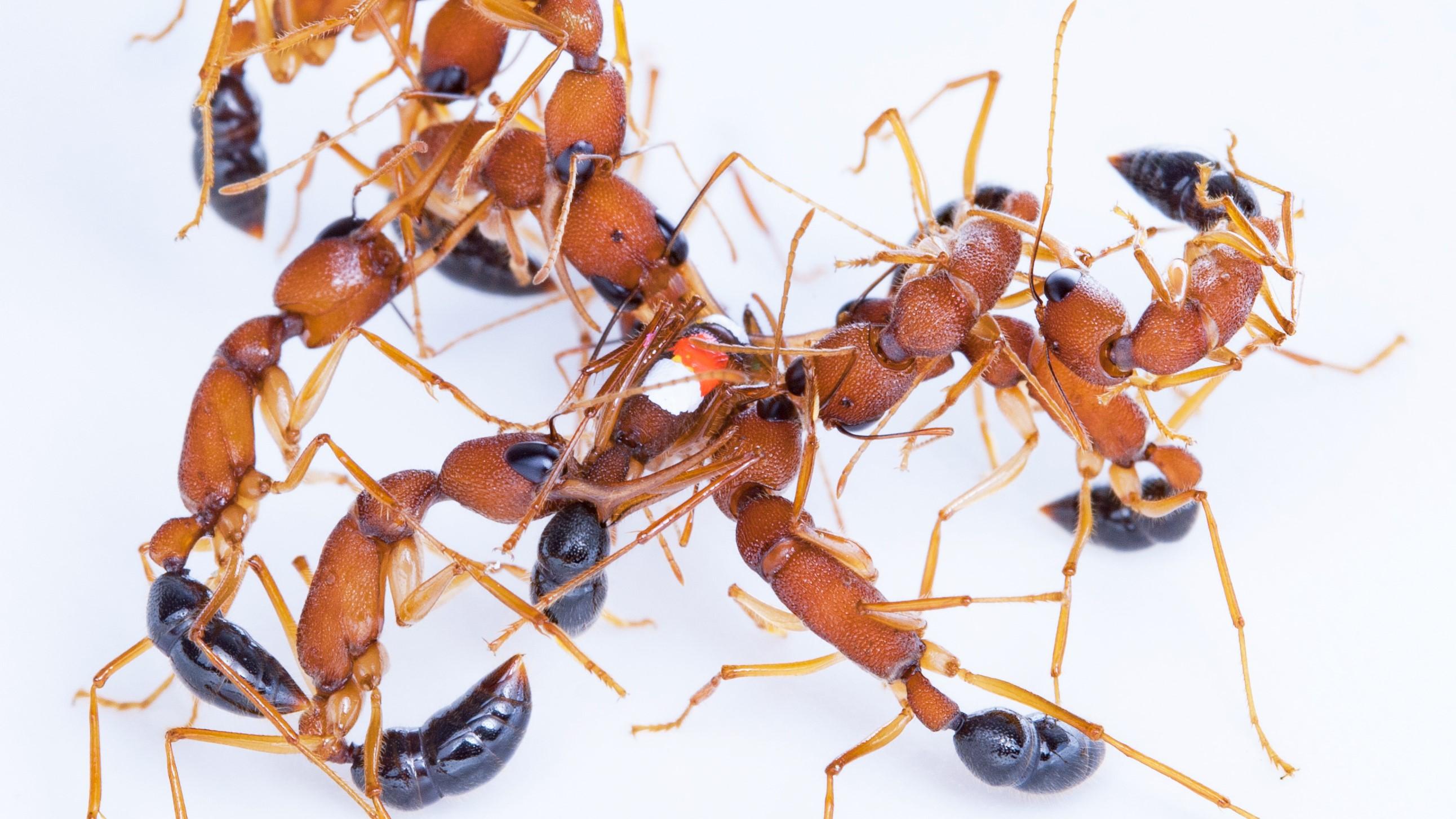 Antenne-boxe des fourmis sauteuses indiennes pour décider qui deviendra reine.