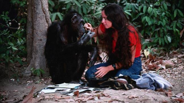 Lucy, le chimpanzé humain 'Crédit: Channel 4