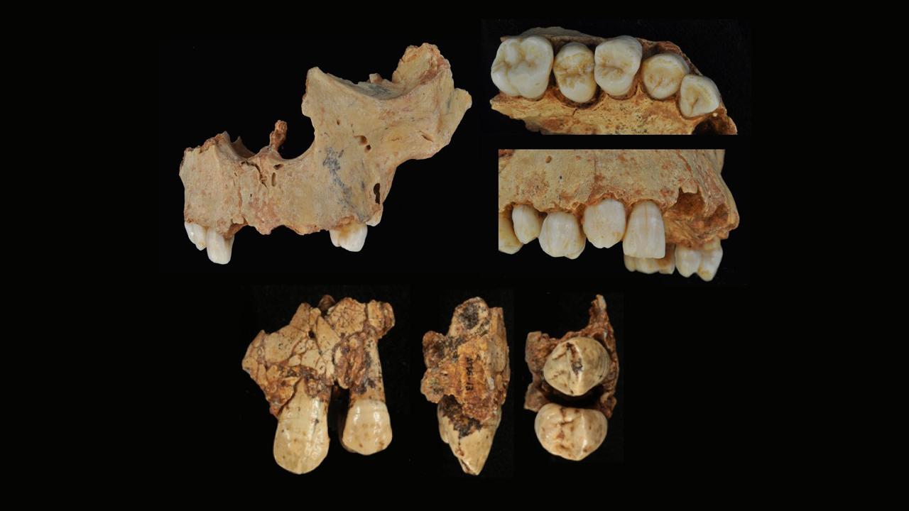 Canines permanentes d'individus de Gran Dolina.  La rangée supérieure montre le maxillaire de l'individu H3, tandis que la rangée inférieure montre des vues de la canine maxillaire gauche appartenant à l'individu H1.