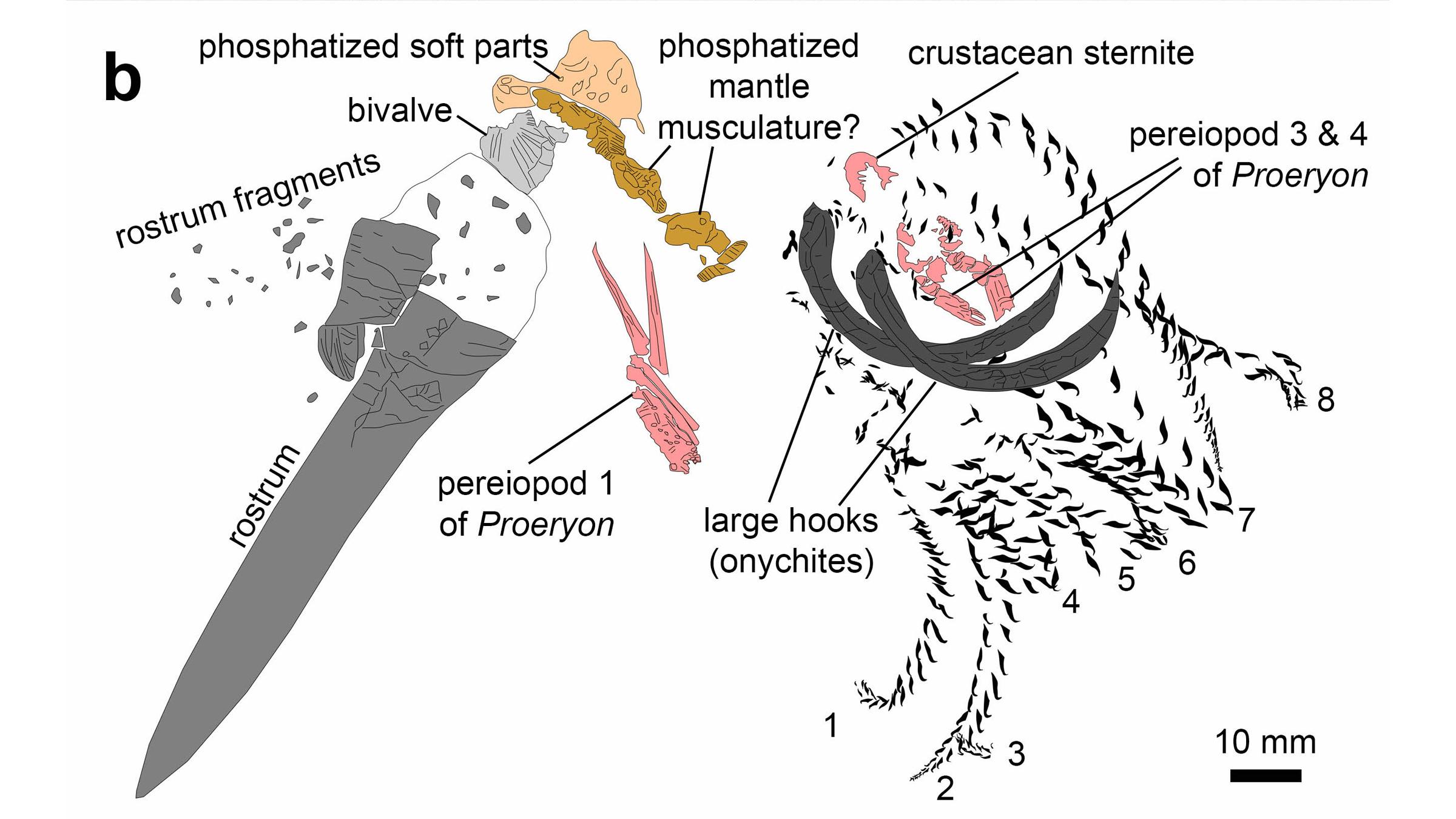 Une illustration des restes fossilisés.  Remarquez le rostre de la bélemnite (à gauche) et ses gros crochets (à droite).