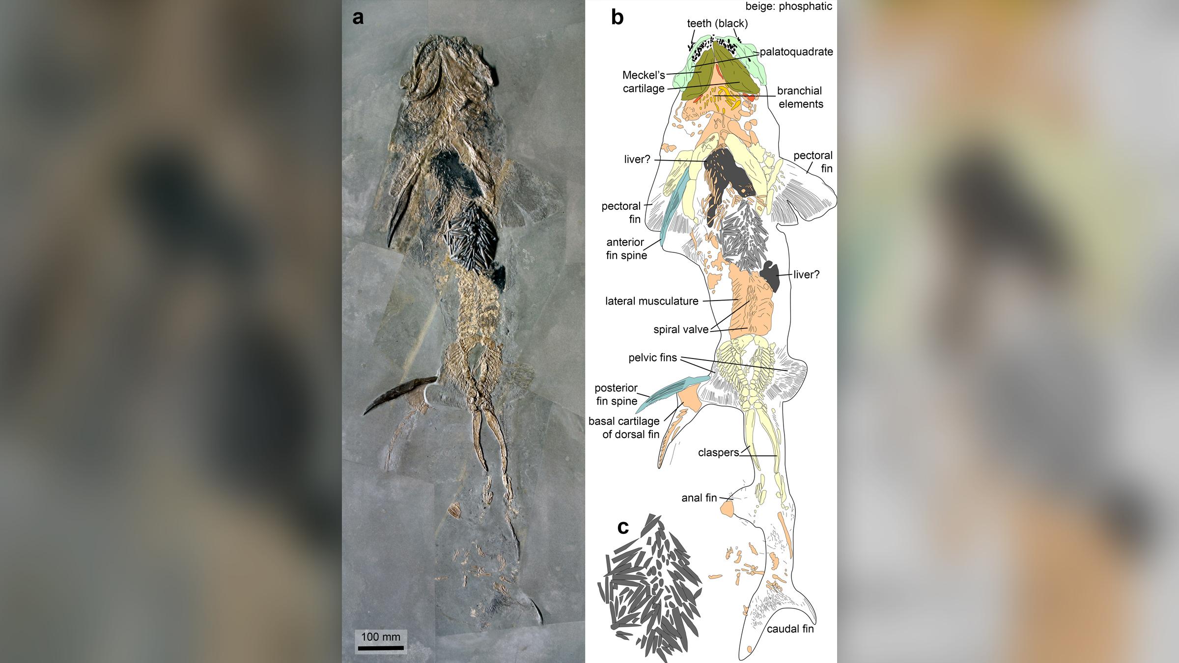 Le fossile (à gauche) et l'illustration (à droite) du requin jurassique (Hybodus hauffianus) qui a mangé beaucoup trop de rostra de bélemnite, ce qui a probablement conduit à sa mort.  Remarquez (C) le dessin agrandi du rostra.