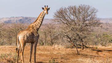 Au Zimbabwe, ils utilisent l'apprentissage en profondeur pour identifier les girafes et comprendre pourquoi leur population diminue