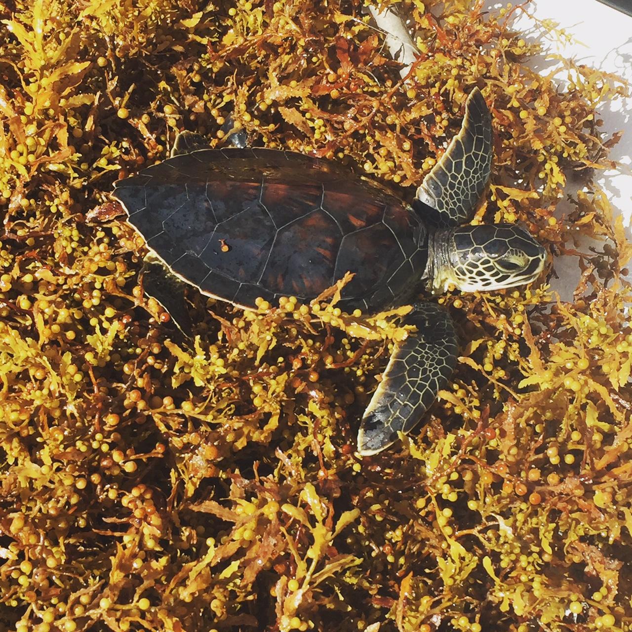 Une jeune tortue de mer verte dans un tapis d'algues brunes