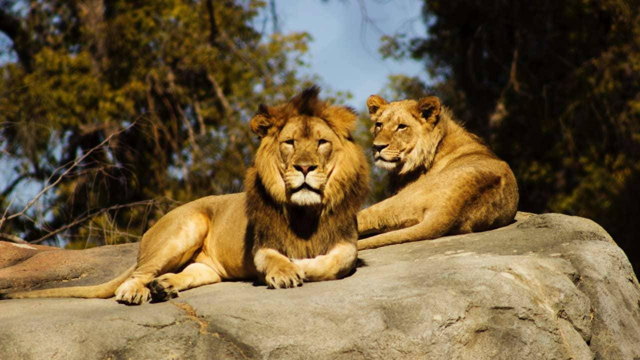 L'Afrique du Sud compte entre 8 000 et 12 000 lions dans quelque 350 fermes, mais en revanche, environ 3 500 lions vivent à l'état sauvage.