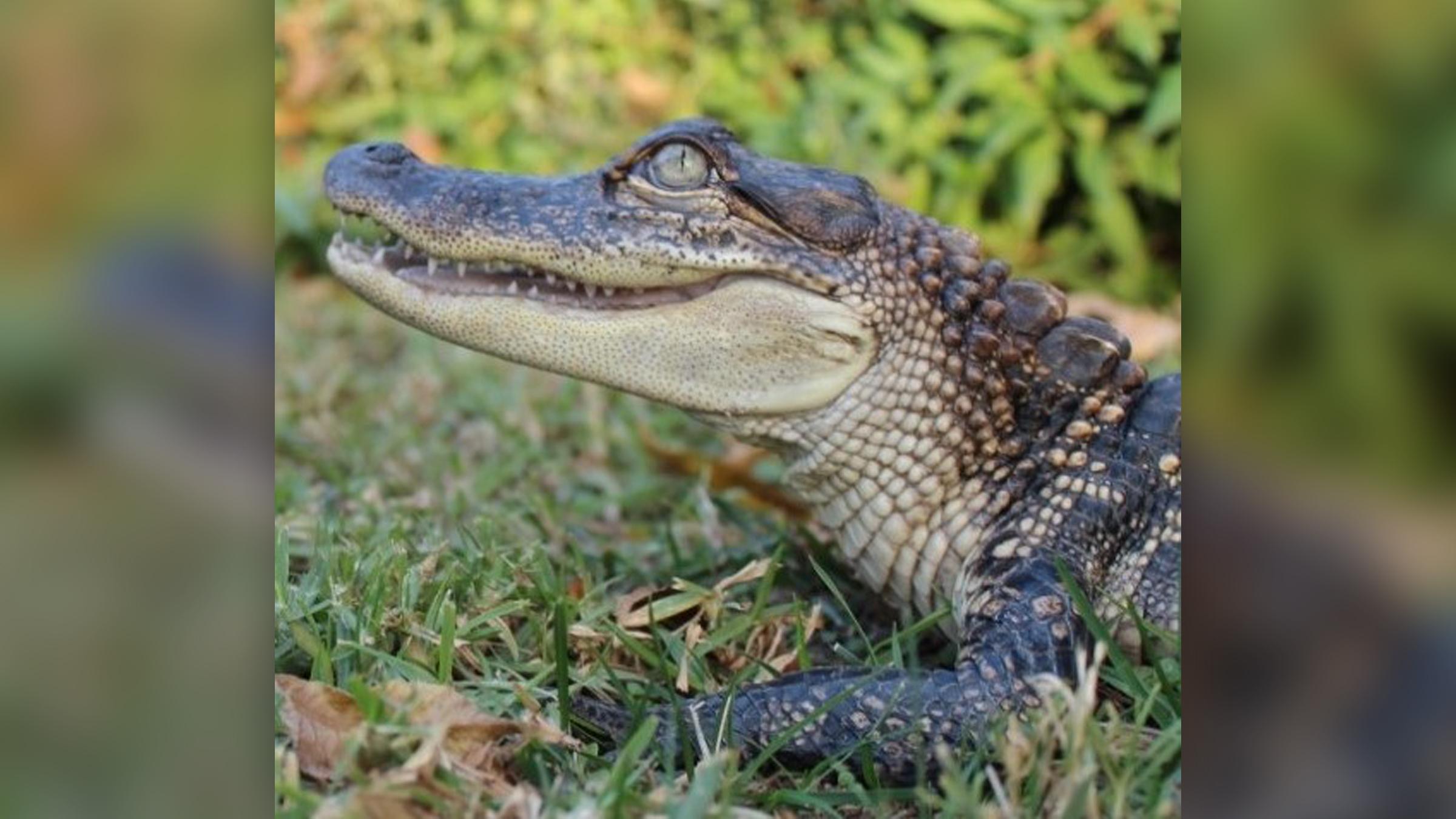 un alligator dans l'herbe