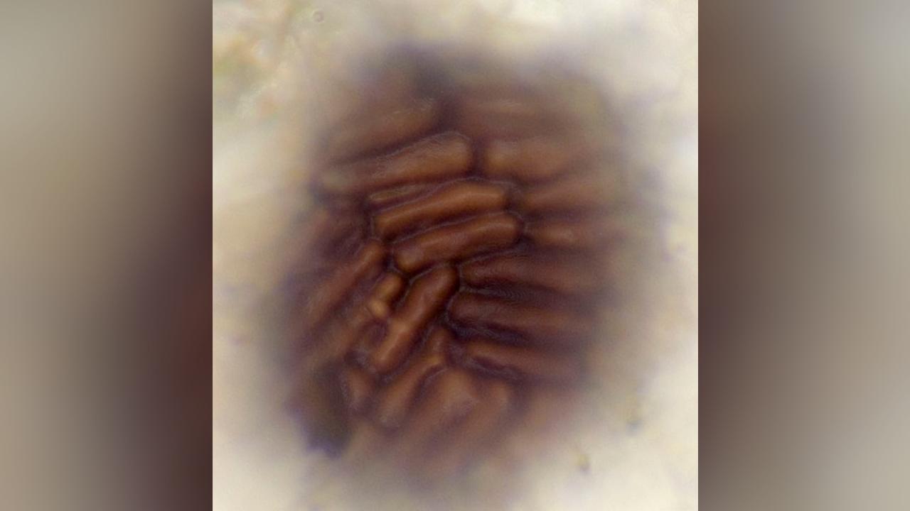 Vue de surface d'un spécimen de B. brasieri, montrant le motif en mosaïque d'ensembles de cellules allongées.
