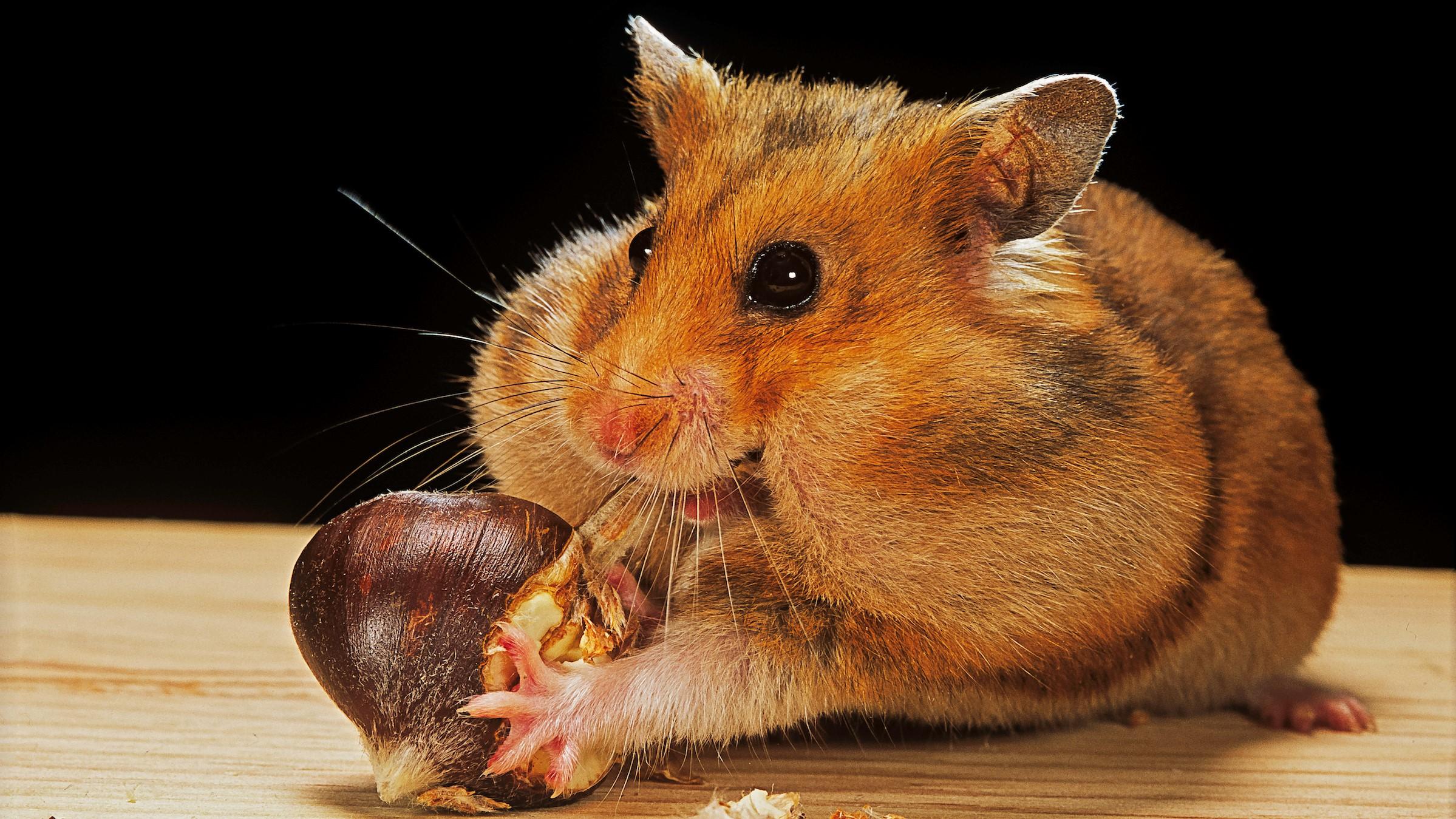 Une photo d'un hamster doré farcissant ses joues avec une châtaigne