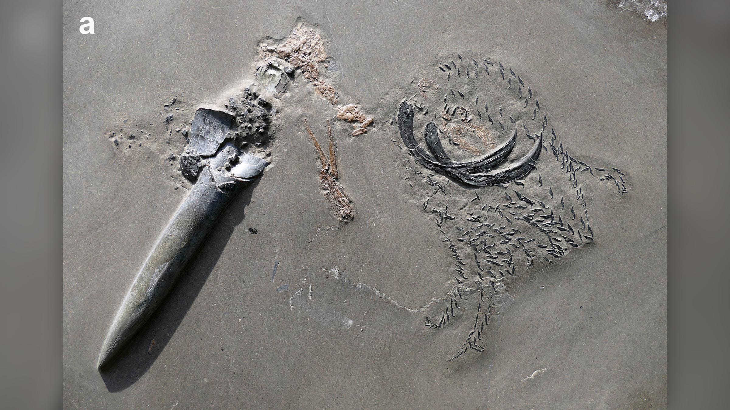 Les restes fossilisés de la bélemnite (Passaloteuthis bisulcata) et du crustacé (Proeryon).