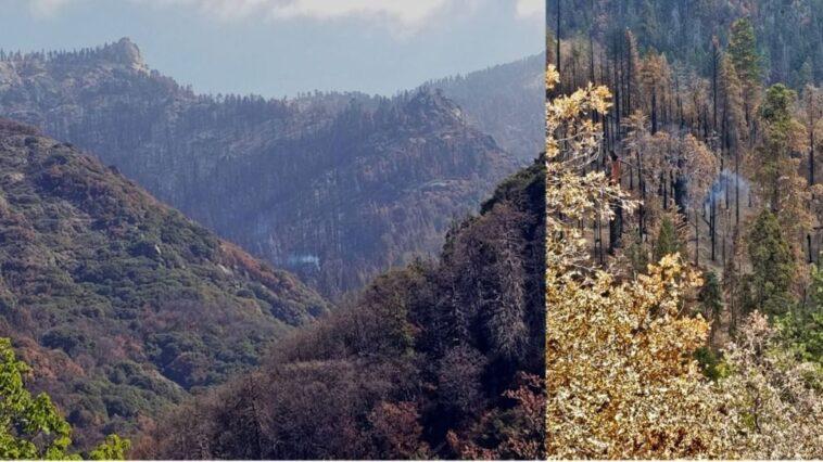Un Séquoia Géant Qui Couve Toujours 9 Mois Après Les