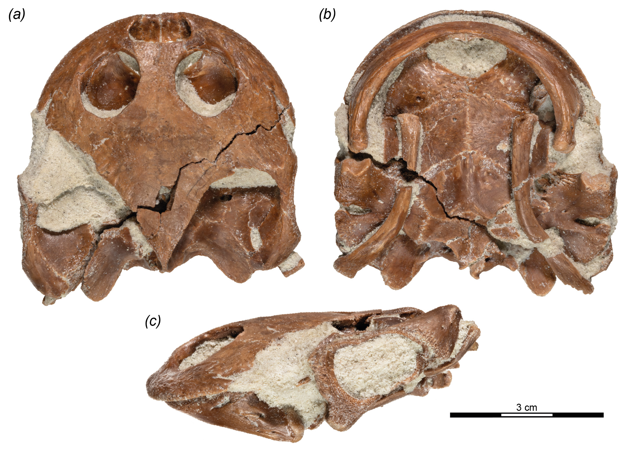 Fossile de Sahonachelys mailakavava, montrant les parties du crâne préservées.