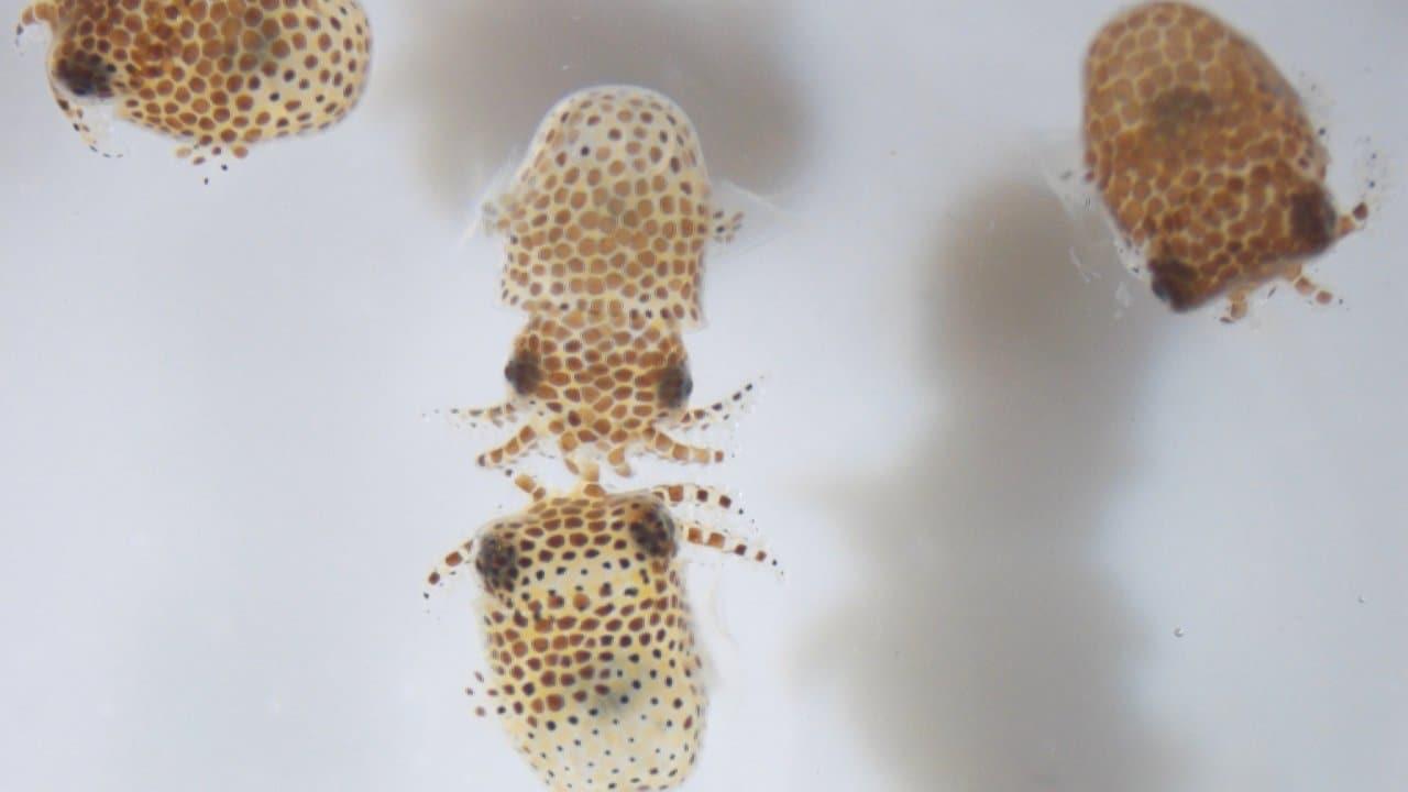 Ces calmars bobtail immatures (Euprymna scolopes) font partie de l'UMAMI, une enquête qui examine si l'espace modifie la relation symbiotique entre le calmar et la bactérie Vibrio fischeri.  Crédits: Jamie S. Foster, Université de Floride/NASA