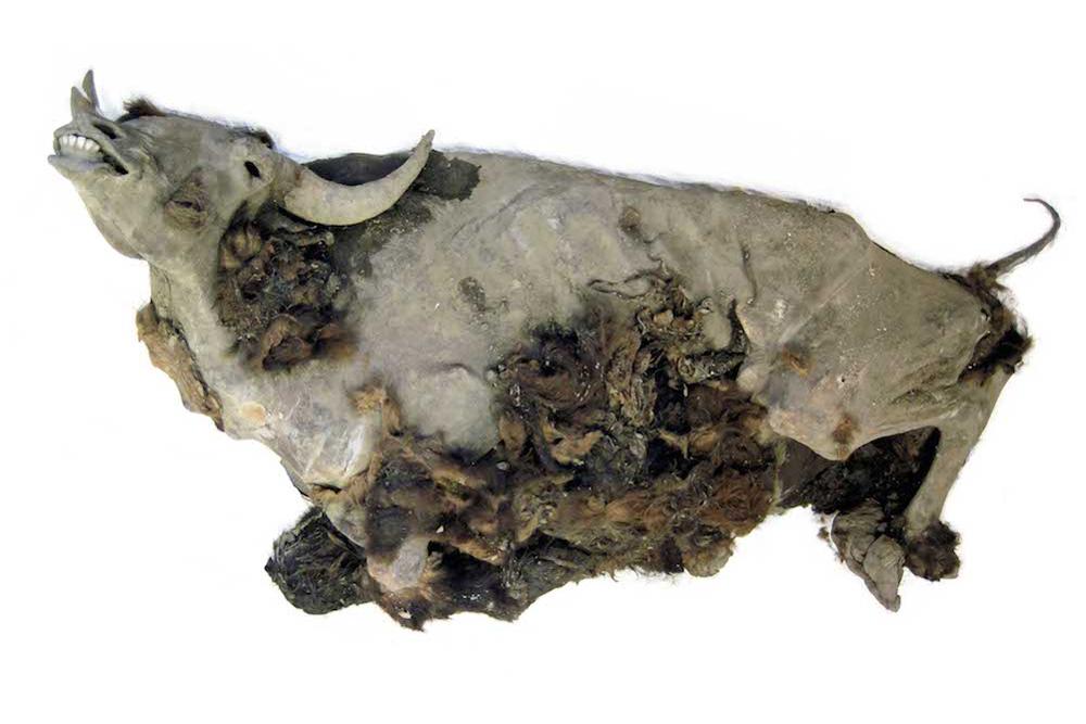 La momie de bison presque parfaitement conservée a été trouvée sur la rive d'un lac dans le nord de la Sibérie.