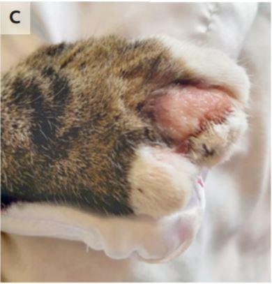 Lésions de cowpox sur la patte du chat de la femme.