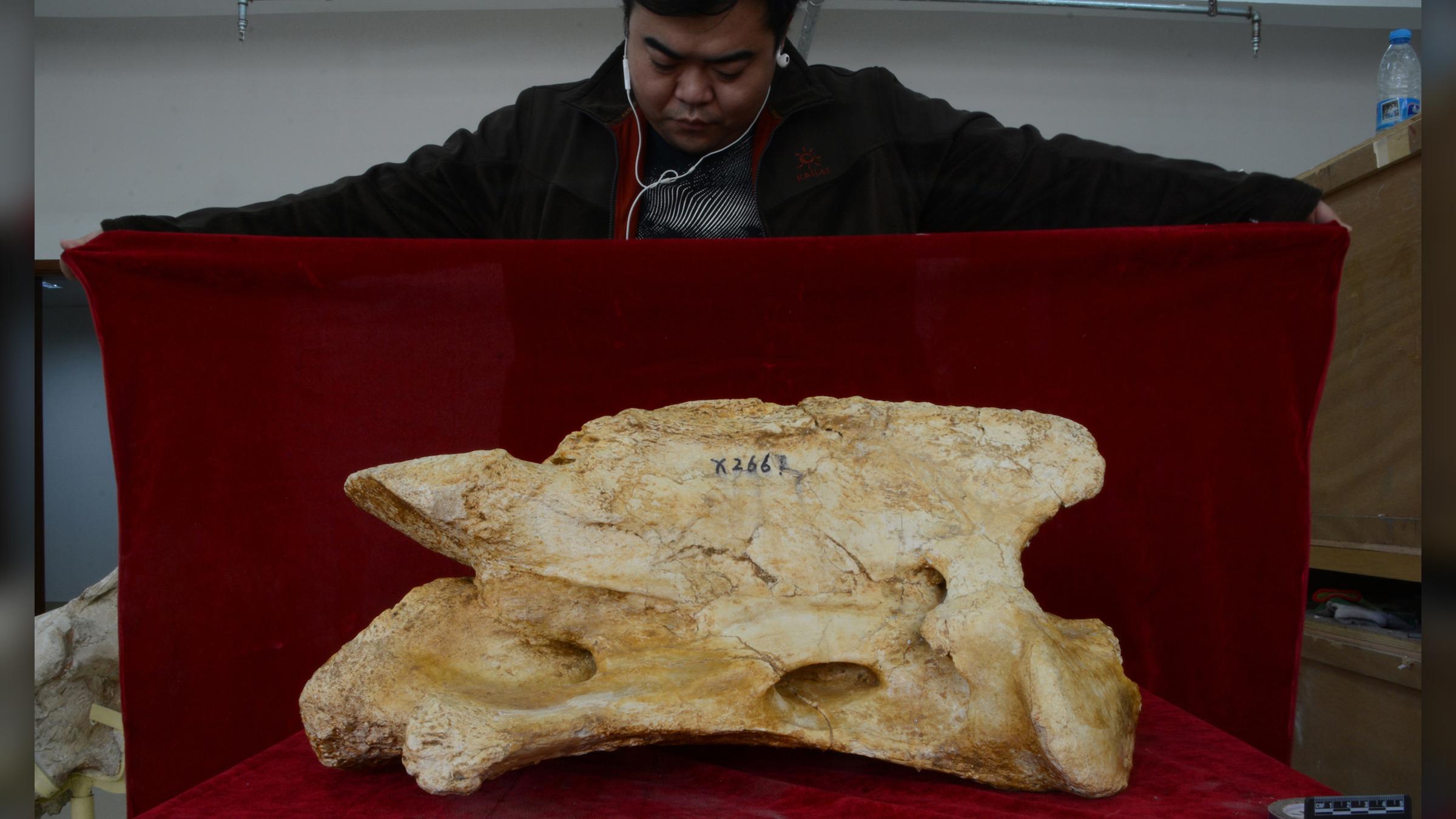Le grand axe (deuxième vertèbre cervicale) du rhinocéros géant Paraceratherium linxiaense, comparé à un technicien.