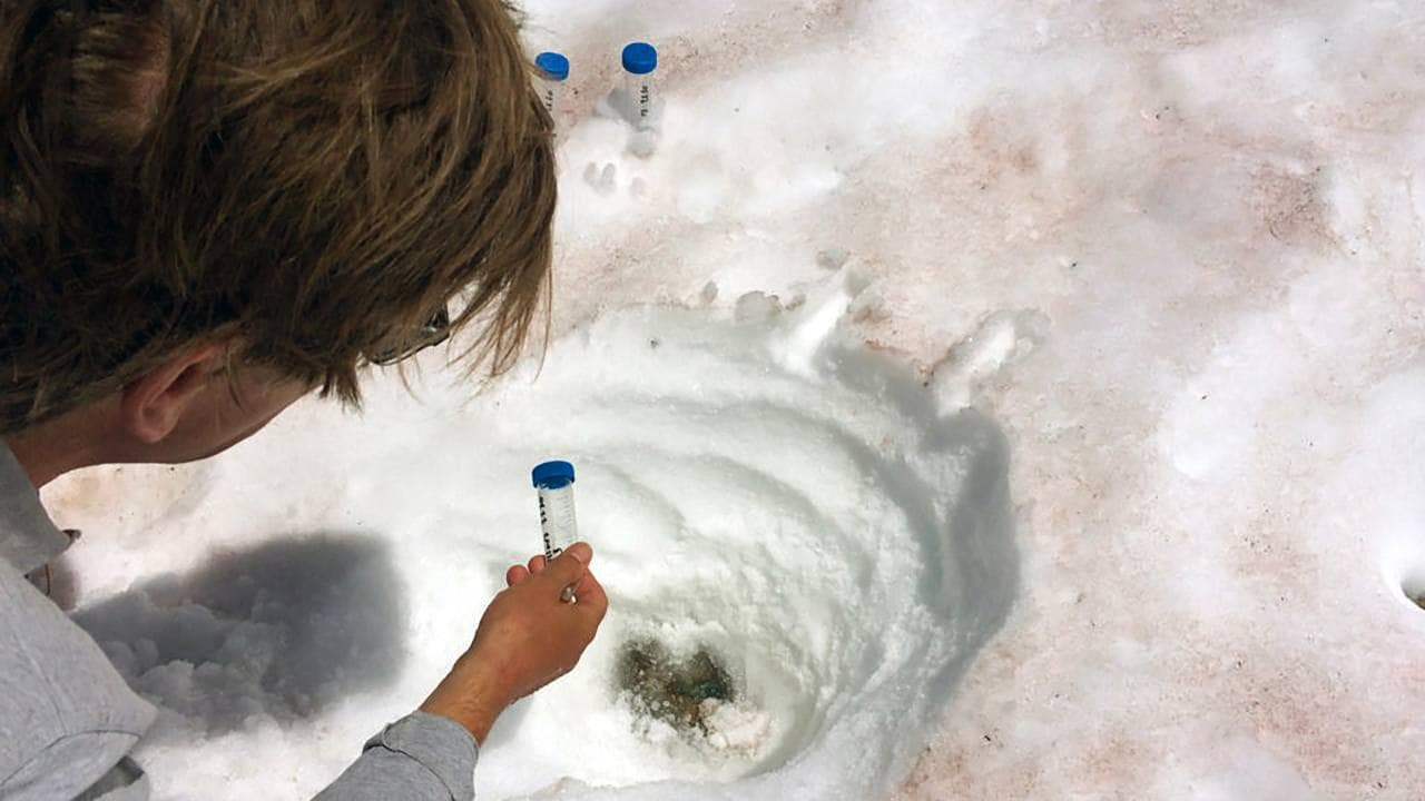 Une photo non datée montre un chercheur échantillonnant de la neige de couleur rouge.  De nombreuses espèces d'algues ont tendance à préférer des altitudes particulières et ont très probablement évolué pour prospérer dans les conditions qui s'y trouvent.  (ALPALGA via le New York Times) -- PAS DE VENTE ;  POUR UN USAGE ÉDITORIAL UNIQUEMENT AVEC NYT STORY SLUGGED IRED SNOW ALGAE PAR CARA GIAIMO POUR LE 11 JUIN 2021. TOUTE AUTRE UTILISATION INTERDITE.  --