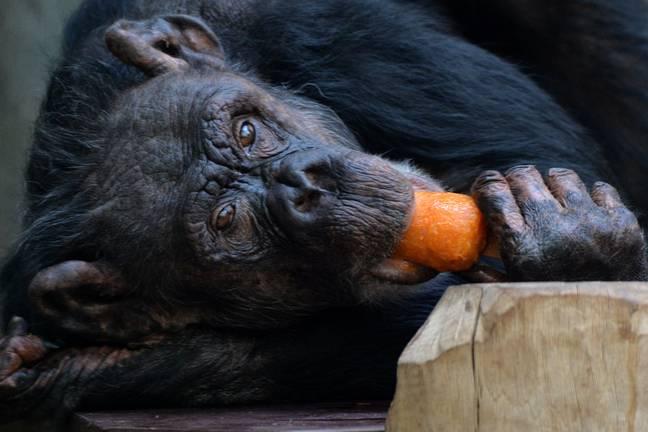 Un chimpanzé, mais pas celui qui a blessé Ollie.  Crédit : PA