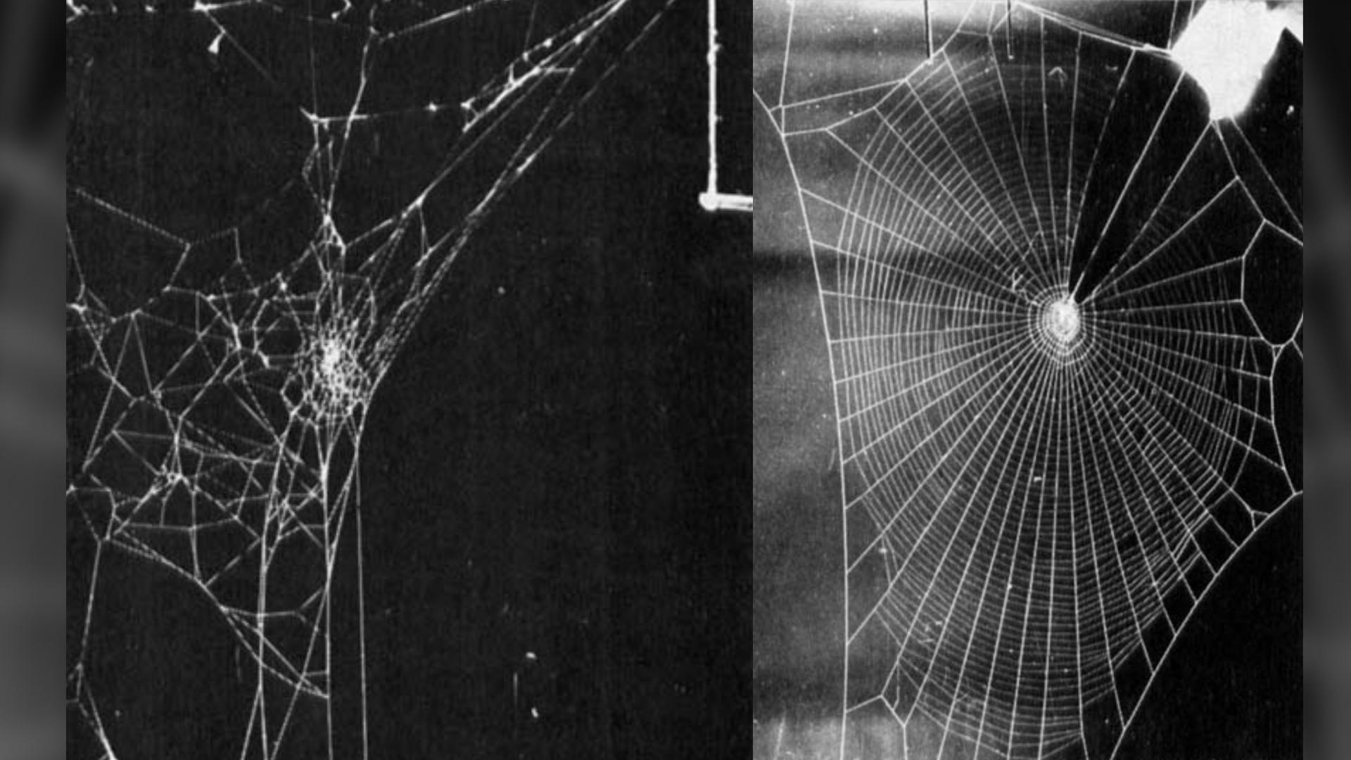 Une araignée femelle Araneus diadematus a construit la toile sur la gauche, environ 12 heures après avoir reçu une dose relativement élevée (1 milligramme) de d-amphétamine dans de l'eau sucrée.  La toile de droite a été construite par une araignée femelle adulte Zygiella x-notata qui a reçu une faible dose de LSD, résultant en une toile avec des tours en spirale qui ont été