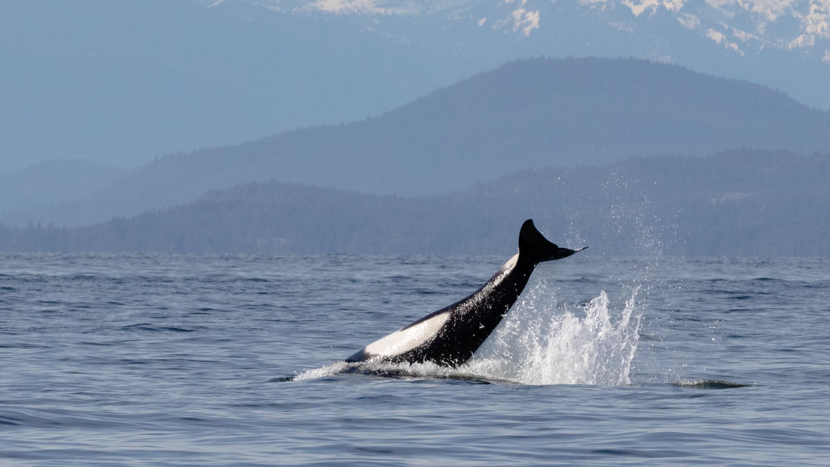 Un orque de passage montre comment il étourdit sa proie en éclaboussant la surface.