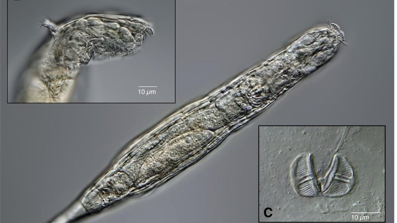 Le rotifère bdelloïde est revenu à la vie après avoir été gelé pendant 24 000 ans dans le pergélisol sibérien.  Crédit image: auteur fourni.