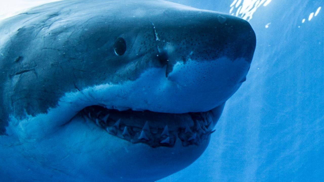 L'espèce de requin tigre des sables, aujourd'hui éteinte, Striatolamia macrota était autrefois une constante dans les eaux autour de la péninsule antarctique, et elle a laissé des dents fossiles parfaitement préservées sur ce qui est maintenant l'île Seymour, près de la pointe de la péninsule.  Crédit image : Wikipédia