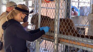 Un léopard des neiges non vacciné au zoo de San Diego attrape COVID-19