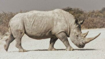 Des Embryons Créés Pour Sauver Les Rhinocéros Blancs Du Nord