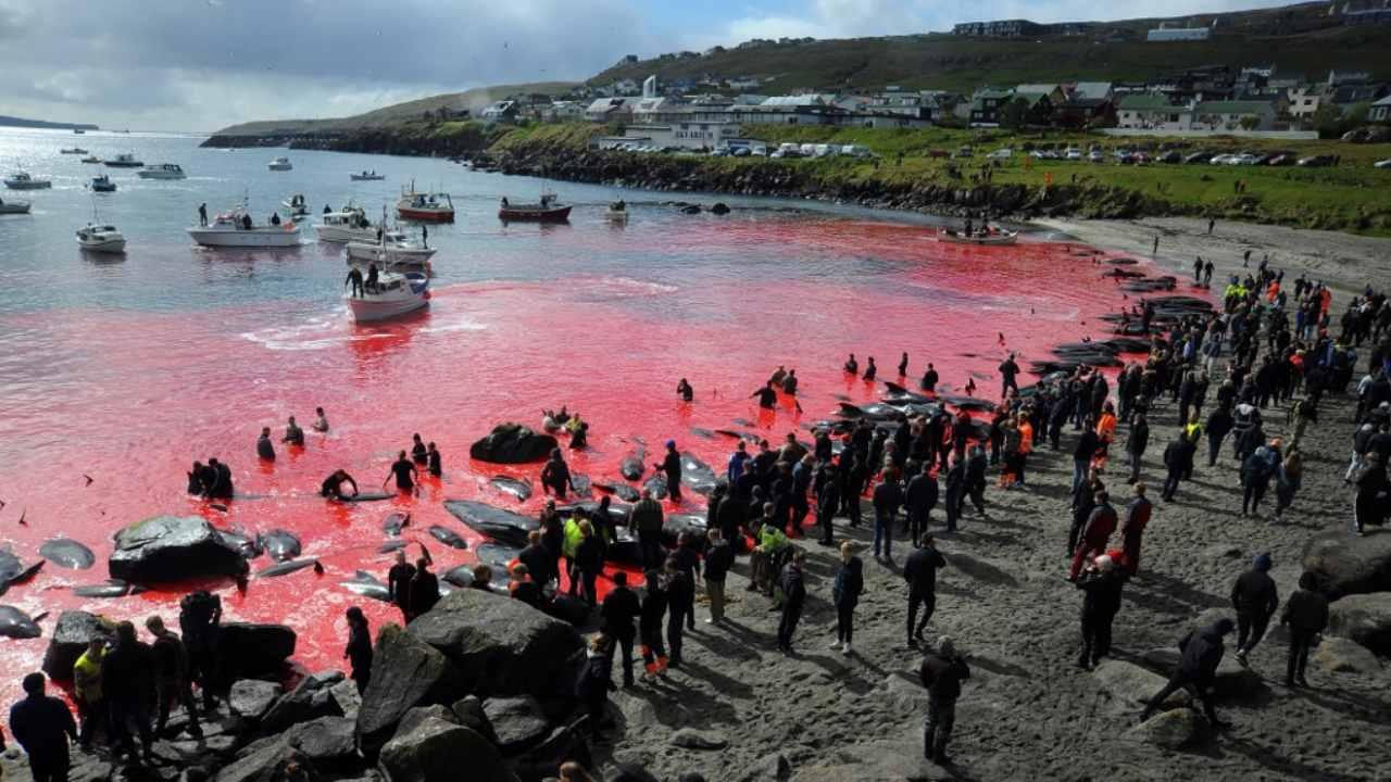 Sur cette photo d'archive prise le 29 mai 2019, des personnes se rassemblent devant la mer, colorées en rouge, lors d'une chasse au globicéphale à Torshavn, dans les îles Féroé.  Chaque été aux îles Féroé, des centaines de globicéphales et de dauphins sont abattus lors de chasses en voiture connues sous le nom de
