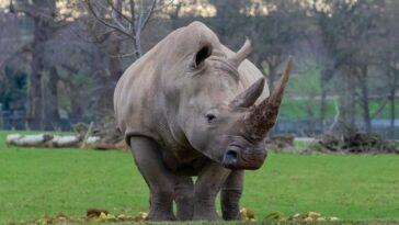 Toby, Le Plus Vieux Rhinocéros Blanc Du Sud Du Monde,